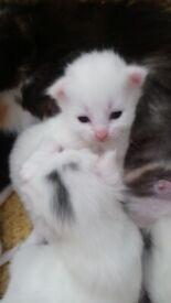 Turkish Van + Calico white and 1 ginger kittens