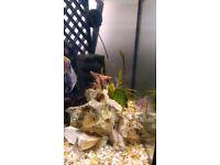 large and medium angelfish