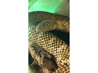 BROOKS KING SNAKE + VIV FOR SALE