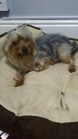 Sold:Yorkshire Terrier Female