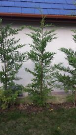 Lleylandi trees 4to 5 foot tall