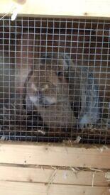 One male one female rabbit