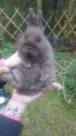 Lovely Little Chocolate Netherland Dwarf Buck/Boy Pet Bunny Rabbit