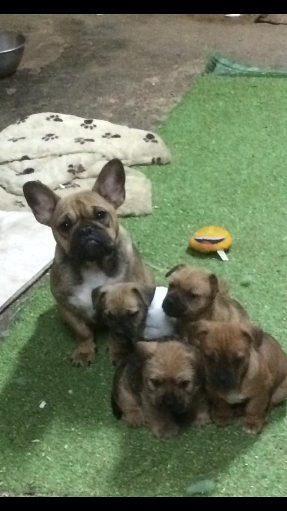 Jack Russell X French Bulldog Puppies In Caldicot