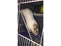 Female Syrian hamster, cage and other items included, price may vary.
