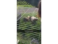 2 females Guinea pigs
