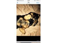 2 males now left!! yorkie terriers 9 weeks old both Mum and dad can both be seen !