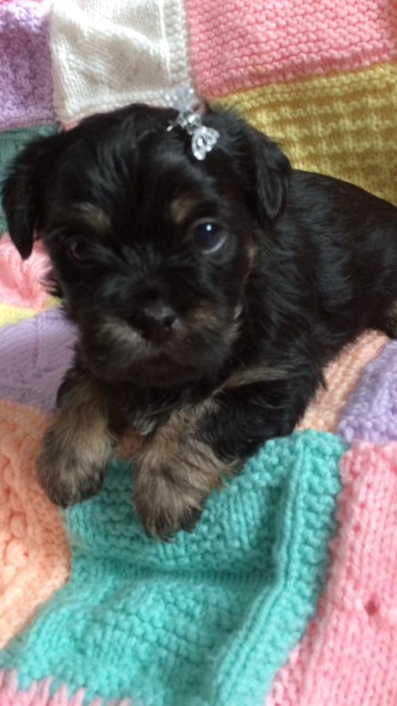 Shin tzu x Lhasa apso puppies only 2 boys left