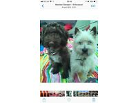 Cairn Spoodle Terriers **SOLD**