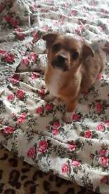 chihuahua x jacj Russell puppy
