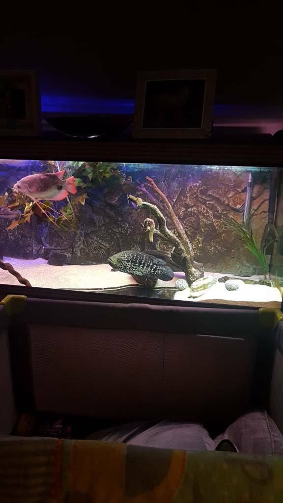 Male jag cichlid needs sold tonight