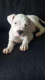 £350 American Bulldog Puppies