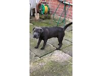Blue shar pei for sale