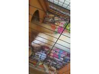 Ferrets 2 male