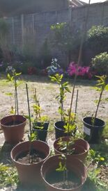 passion flower plant 9cm pots £4 each