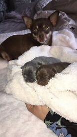Blue and Chocolate Tri pups for sale
