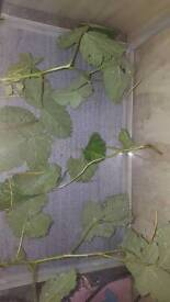 Free stick insects