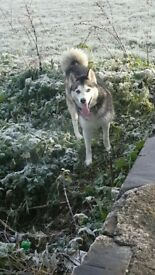 Husky Needing Rehomed