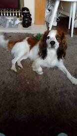 Kingcharles cross beagle