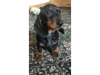 Miniature Dachshund Puppy For Sale
