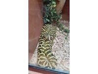 Pair of zebra jungle carpet pythons