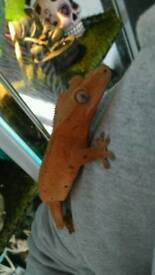 Crested gecko Red Dalmatian red&black spots