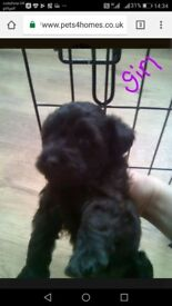 2 schnoodle puppies