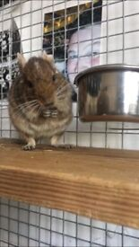 2 Male Degus (approx 3 years old and very friendly natured), including cage and accessories