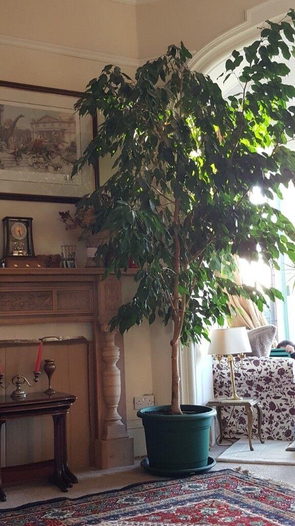 9 10 Ft Weeping Fig Ficus Benjamina Indoor Plant Tree