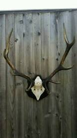 Exmoor Stag Antlers Mounted