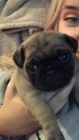 Pug puppy 10 weeks old mum is our family pet injections paid for, she is adorable no papers💕