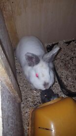 Rabbit and guinea-pig