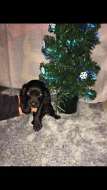 Cocker spaniels puppies for sale