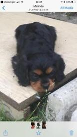 Cavalier male pup