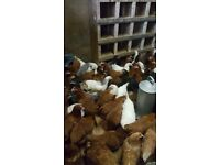 25 mixed chickens all pol