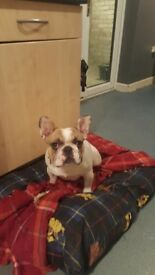 8 month old french bull dog for sale