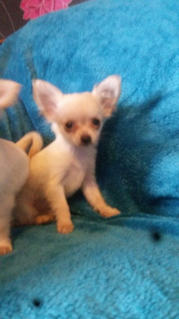 Chihuahua female puppy for sale