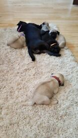Kc reg with papers pug puppies. Litter of 5. *one fawn girl left*