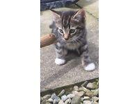 flyffy kitten £30