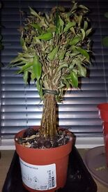 Ficus Benjamina Natasja fig tree from ikea houseplant