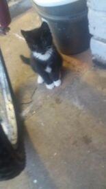 Black and white kitten for sale boy