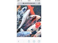 Wanted small koi pond fish