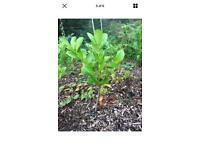 2ft cherry laurel bareroot evergreen hedging lautel