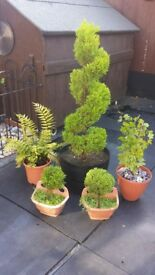 garden plants topiary tree for sale