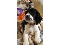 Beautiful black and white sprocker puppies