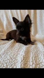 Pedigree Long Coat Chihuahua Boys