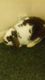 rabbit male 8 months grey and white black rabbit female 8 months