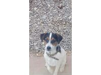 8 mth old male jack russel terrier