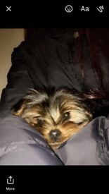 3 Female Yorkshire Terrier Pups