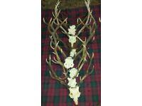 8 Sets Deer Antlers with Skull